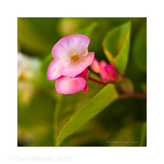 Pink Begonia (tomh2m) Tags: begonia pink garden flower nature flora background blossom plant summer beauty gardening outdoor beautyinnature vibrantcolor floweringplant blooming flowerbed