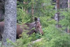 Out in the woods (aixcracker) Tags: animal djur eläin elk moose älg deer hjort hirvi nikond500 peura lovisa loviisa pernaja pernå suomi finland july juli heinäkuu summer sommar kesä evening kväll ilta