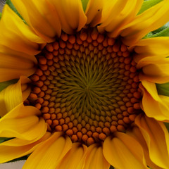197/365-Sunflower (jezcritchlow1) Tags: 365 365the2018edition
