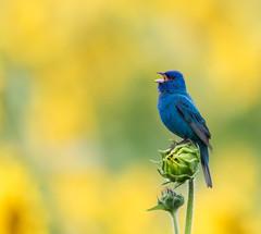 """Shes a Sunflower"" (ksharp2) Tags: sunflower bud blurred background yellow green blue bird bunting indigo flower singing song birdwatching birdphotography sunflowerfields nature naturephotography flickr"