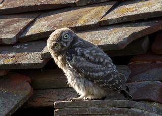 Juvenile Little Owl