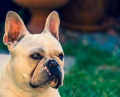 Dog Portrait -Albi (The French Bulldog) (Cross Process Effect) (Olympus OM-D EM1-II & M.Zuiko 40-150mm f2.8 Telephoto Pro) (1 of 1) (markdbaynham) Tags: dog pet cute canine frenchbulldog bulldog smalldog smallbulldog olympus omd olympusomd oly em1 em1ii em1mk2 csc mirrorless microfourthird microfourthirds m43 m43rd micro43 micro43rd olympusem1 albi petportrait animal domesticanimal crossprocess 40150mm olympuspro prolens telephot telephotozoom mzd mz zd mzuiko mft zuikolic