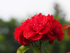 Baden-bei-Wien Kurstadt Luftkurort (arjuna_zbycho) Tags: róża rose rosas roses róże rosu rosae flower kwiat blume makrofoto macrophoto rosarium rosengarten الورد austria badenbeiwien doblhoffpark biosphaerenparkwienerwald lovers gülsevenler gül trandafir trandafiri زهرة