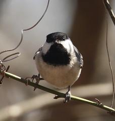 Carolina x Black-capped Chickadee [hybrid] (Poecile carolinensis x atricapillus) 04-11-2018 Green Ridge SF--Campsite 71, Allegany Co. MD 21 (Birder20714) Tags: birds maryland chickadees paridae poecile atricapiillus carolinensis hybrid