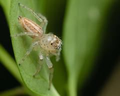 Sylvana Jumper (Matt Claghorn) Tags: tokina100mmf28 colonussylvanus nikond50 jumpingspider ohiospiders spider macro