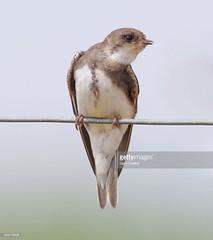 Sand Martin (Gary Chalker, Thanks for over 3,000,000. views) Tags: sandmartin bird hirundine pentax pentaxk3ii k3ii pentaxfa600mmf4edif fa600mm 600mm