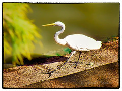 IMG_7990_edit (cnajhar) Tags: garça heron bird ave