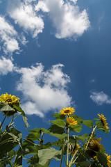 Sommerwetter (berndtolksdorf1) Tags: himmel sky sonnenblumen blumen flowers pflanzen plant blossom blüten gelb yellow outdoor