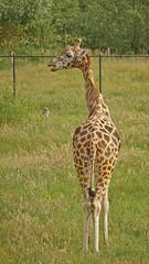 Model for me (the snow bunny) Tags: zoo aldergrove langley vancouver greatervancouverzoo animals vancity 604 sonya6000 giraffe