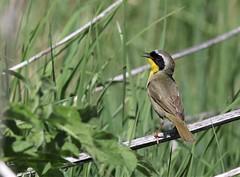 Common Yellowthroat (M) (kearneyjoe) Tags: commonyellowthroatm sackvillewaterfowlpark sackville newbrunswick
