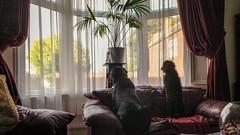 Guard dogs (MJSAFC10) Tags: dog dogs pet pets animal rottweiler rottweilers cockapoo puppy guard guarddog window livingroom