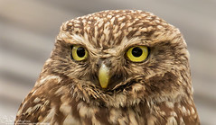 Tales from Northumberland... Little Owl, (wild)  look into my eyes (Steve (Hooky) Waddingham) Tags: bird british barn wild wildlife coast countryside nature northumberland prey photography owl little