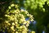 Green_leaves (gnsk) Tags: voigtlander voigtländer nokton 50mm f11 cosina japan kyoto dof bokeh ilce7 a7 α7 sony