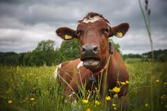 Relaxing (Helena Normark) Tags: cow buttercups cowonbuttercupfield skjetlein heimdal sørtrøndelag norway norge sonyalpha7ii a7ii 35mm lensbaby burnside35 lensbabyburnside35 lensbabylove seeinanewway