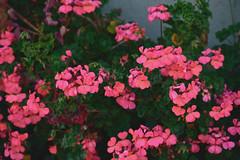 Flowers 5 (TheseusPhoto) Tags: sanfrancisco california goldengatepark beautyinnature colorsoftheworld colors nature naturephotography natureporn flowers vivid