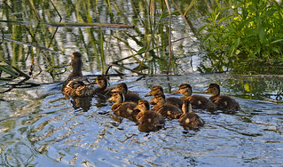 Duck's family 💚 Happy Midsummer! 😊🌷 Hyvää Juhannusta! Finland, Summer.