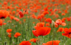 (runner.pl) Tags: poppies