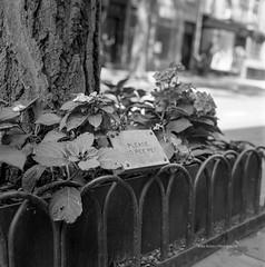 Manhattan in May | No Pee Pee (MR Photog) Tags: yashica yashicamat124g yashinon80mm kodak film analog trix400 120film mediumformat 6x6 squareformat bw blackandwhite monochrome newyorkcity greenwichvillage sign dogs urban fence street manhattaninmay