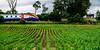 Cornrows (Peter Leigh50) Tags: train trees tree track railway railroad rail house farm farmland corn field meridian east midland trains emt kilby bridge junction rural countryside leicestershire fujifilm fuji xt2