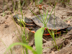 Painted Turtle (kevingilesbirds) Tags: photo natureofnorfolk sand7 newlyhatched facebook tiny flickr norfolkcounty redyellowblackturtle paintedturtle ontario turtle southernontario closeup canada inaturalist kevingiles photography pic ns walsingham road wildherpts turtleclub flickrgroups beauty nature global amateur animal herp flickrnature flickraddicts naturephotocontest