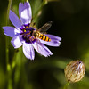 170-365  #nikonpassion365 (bebopeloula) Tags: nikonpassion365 photorobertcrosnier 2018 365 faune nikond700 animaux catananche couleurs extérieur fleur insecte invertébrés macro syrphe