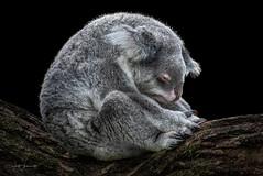 sad koala (Wolf Ademeit) Tags: koala bear cute fur color wolfademeit sony sima