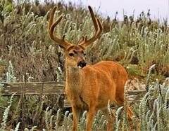 June22Image2607 (Michael T. Morales) Tags: deermmuledeer pacificgrove urbandeer antlers