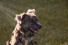 Finnley in the morning (E S Photography) Tags: australianshepherd dog mutt goldenretriever