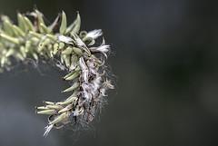 Seeds of Spring (Vanessa wuz Here) Tags: 90mm 7dwf macro seeds bokeh curling vanessasbackyard copyrightvanessabartosek spring