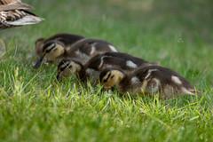IMG_1801 (d_propp) Tags: lake beaumaris mallard duck