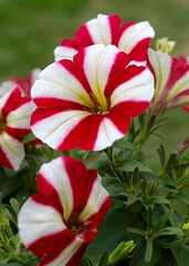 118:2018-085 Candy Striped (karendunne337) Tags: