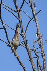 Blending In (In Explore) (A.Joseph Images) Tags: tree blue sky heron green greenheron bird brown wildlife wadingbirds wood nature nikon montreal quebec canada nikkor200500mmedf56vr