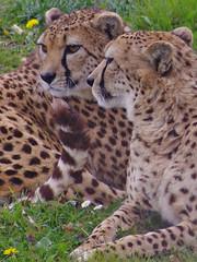 647-21L1 (Lozarithm) Tags: marwell flickrbigcats bigcats cheetahs kx sigma 70300 sigmaaf70300mmf456apodgmacro