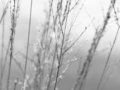 moorland grasses (vertblu) Tags: moorland moor bog moorlandgrass autumn mono grass grasses bw delicacy delicate vertblu