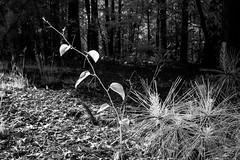 Briar & Pines IR (Neal3K) Tags: ir infraredcamera kolarivisionmodifiedcamera henrycountyga georgia bw blackandwhite
