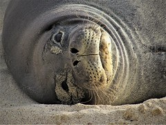 Hello there (thomasgorman1) Tags: canon portrait monk seal monkseal looking staring awake eyes sand beach hawaii island mahaiula big nature zoom zoomed