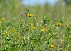 sunny (Mark.Swanson) Tags: prairie falsesunflower heliopsis heliopsishelianthoides buffalotraceprairie lakeofthewoods forestpreserve mahomet illinois champaigncounty