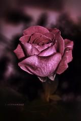 Rosa (José Hernández 441) Tags: rosas floral