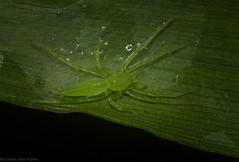 Matidia (dustaway) Tags: arthropoda arachnida araneae araneomorphae clubionidae matidia australianspiders victoriaparknaturereserve dalwood alstonvilleplateau northernrivers nsw australia nature
