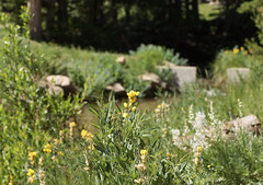 yellow banner plant on stream (c coop) Tags: co rmnp summer colorado flowers fly july rockymountainnationalpark yellowbannerplant yellowflower estespark unitedstates us
