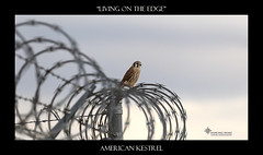 """_45A5927 """"Living on the Edge"""" ©Dancing Snake Nature Photography (Dancing Snake Nature Photography) Tags: arizona nature photography dancingsnakenaturephotographybirds raptors kestrel pinalcounty"""
