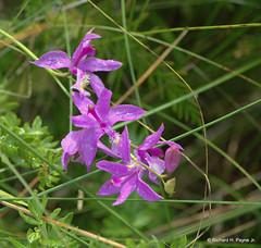 Grass-pink Orchid_6387 (Henryr10) Tags: grasspinkorchid grasspink orchid calopogontuberosus calopogon nativewildflower cedarbog fen bog calcareousfen calcareousbog urbanaoh cedarbognaturepreserve grassorchid