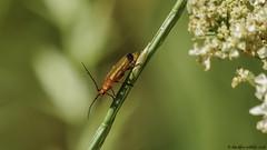 going down (blackfox wildlife and nature imaging) Tags: panasonicg80 leica100400 insects handheld macro closeups flintcastle wales wildlife cardinalbeetle