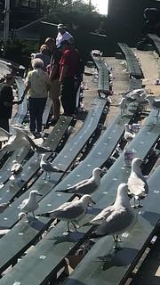Birds in the Bleachers | CUBS WIN | It's Dinnertime | WRIGullEY Field