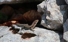 IMG_2822 (Laurent Lebois ©) Tags: laurentlebois france reptile rettile reptil рептилия lézard lizard lucertola lagarto eidechse ящерица sauria hepetology herping doubs jougne montdor jura