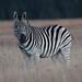 Equus quagga burchelii (Burchell's Zebra)