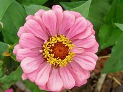 Falling In (morroelsie) Tags: floralimage flowerbloom flower colorbloom madonnainn gardens centralcoast morroelsie