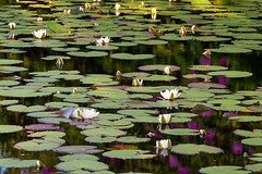 In Tribute to Monet (Geoff France) Tags: water lake pond mere loch lochfarr scotland landscape scottishlandscape lily lilypad reflection