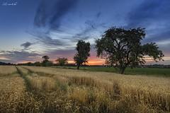 ... after sunset (manfred-hartmann) Tags: baum felder getreide kornfeld lichtzauberwerk manfredhartmann sommer sonnenuntergang sunset wolken germany