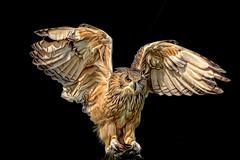 Owl in flight (seen in explore) (Palmsgb) Tags: owl barn snowy greycstoration photoshop